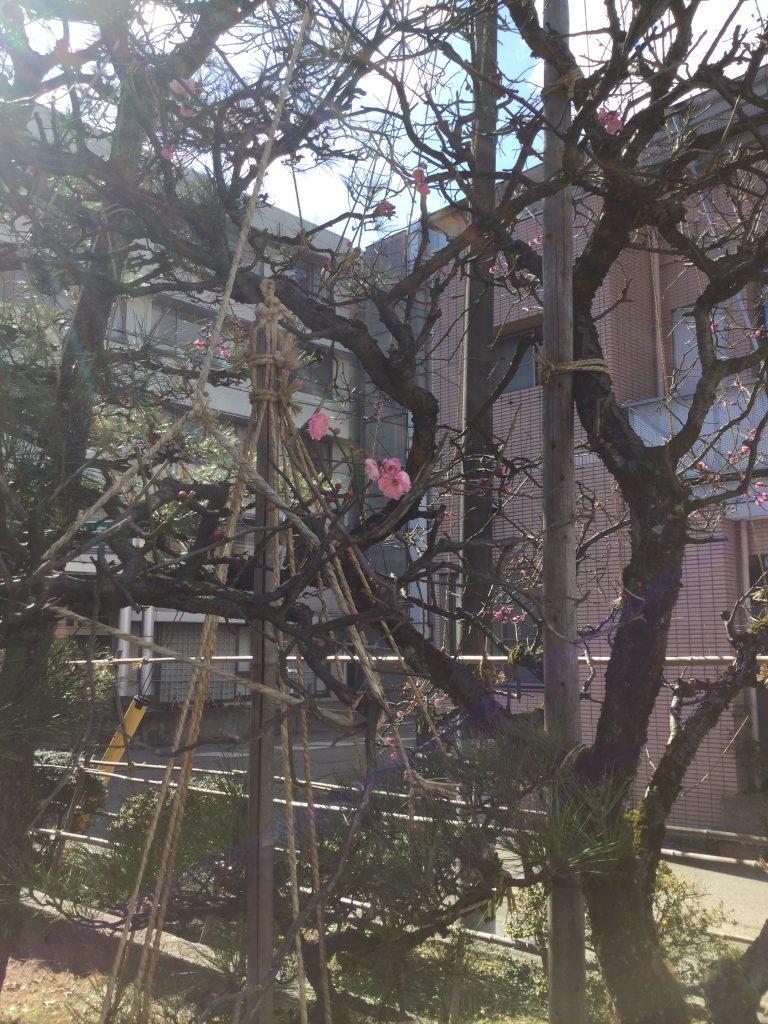 梅の花tags[富山県]