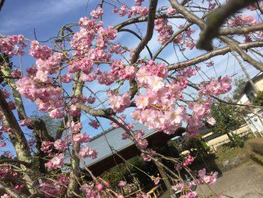 お花見情報♪倶利伽羅源平の郷埴生口-枝垂桜-tags[富山県]